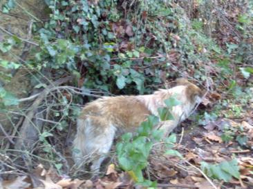 Un'immagine del cane intrappolato nei rovi all'arrivo dei volontari della protezione civile di Filacciano